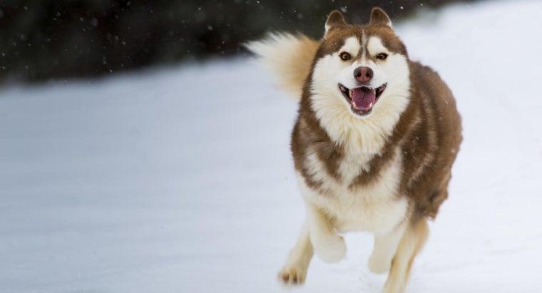 rare-red-white-husky