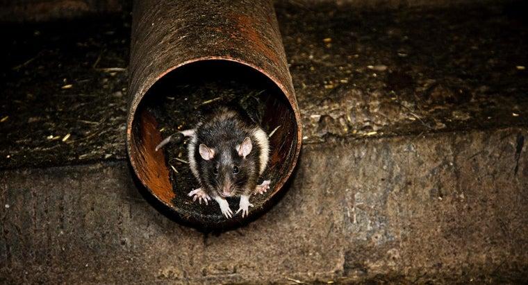 rats-dangerous-man