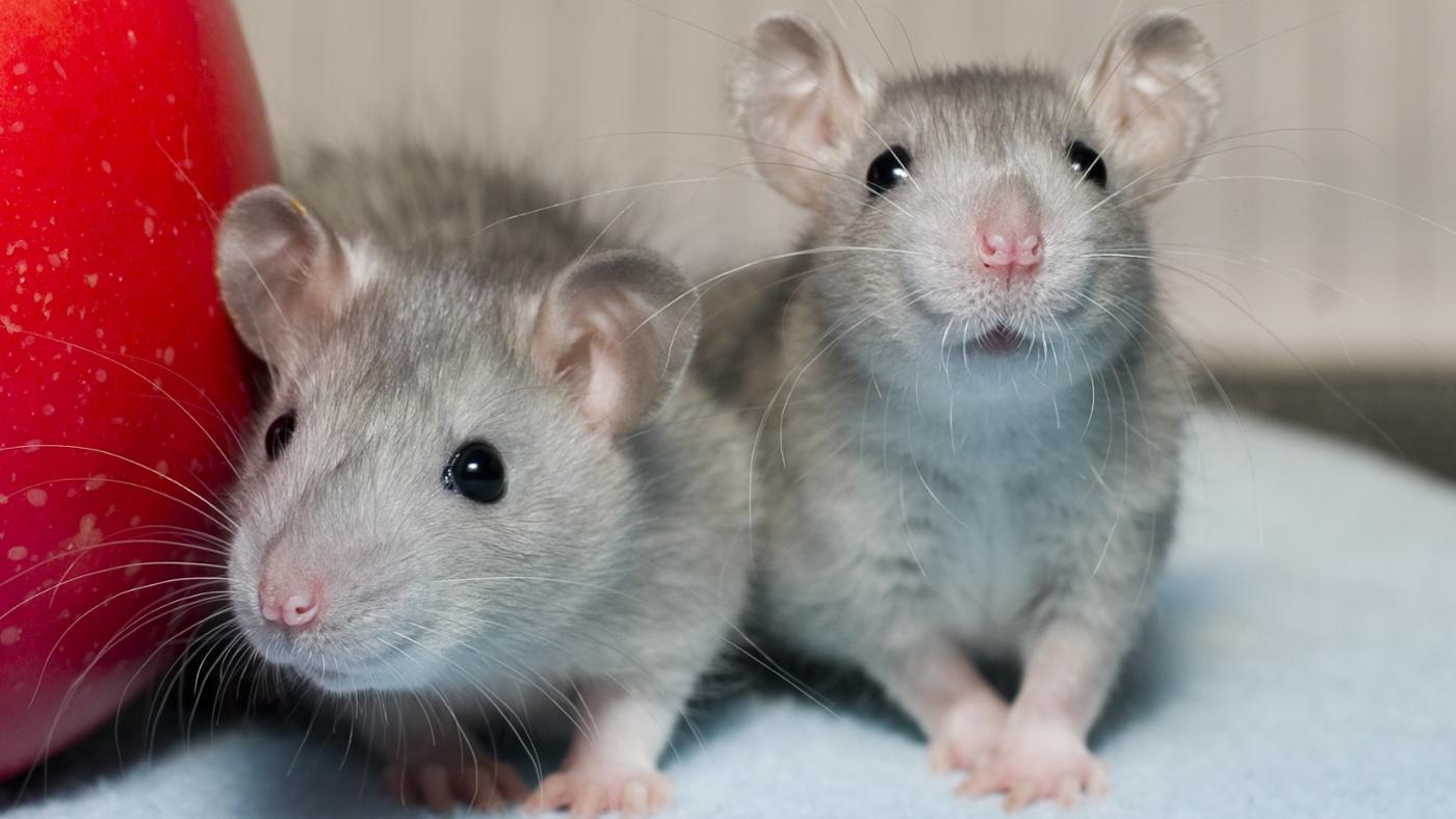 rats eat referencecom