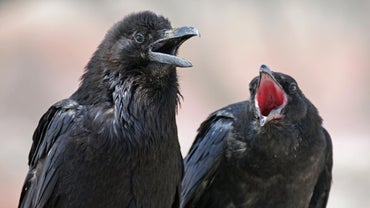 What Do Ravens Eat?