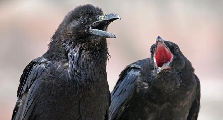 ravens-eat