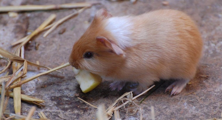 record-oldest-guinea-pig