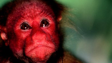 What Is a Red-Faced Monkey Called?