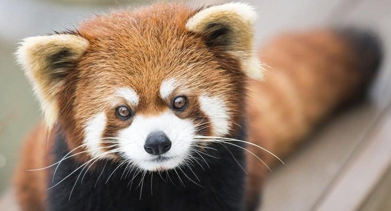 red-pandas