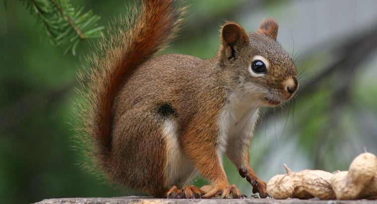 red-squirrels-endangered
