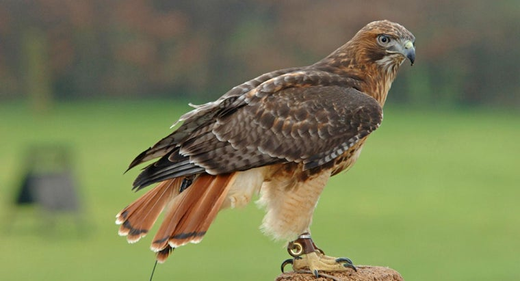red-tailed-hawks-build-nests