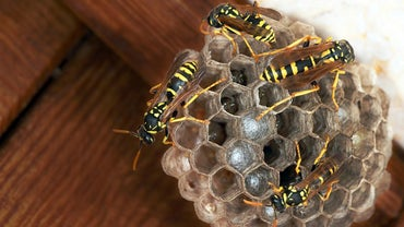 How Do You Remove a Paper Wasp Nest?