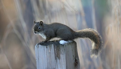 How Do You Repel Squirrels?