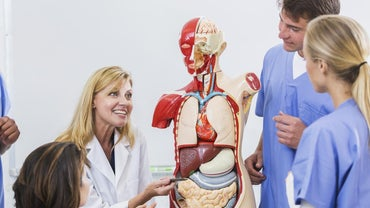 Where Are the Respiratory Organs Located in the Human Body?