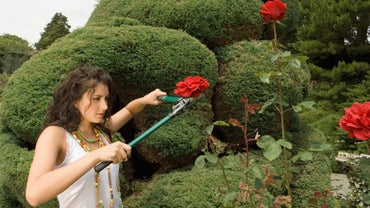 How Do You Revive a Rose Bush?