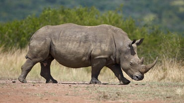 What Is Rhino Poaching?