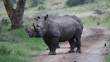 Is a Rhinoceros' Horn Made of Ivory?