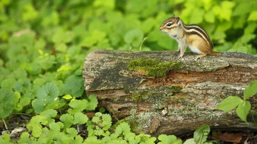 How Do You Get Rid of Chipmunks in Your Yard?