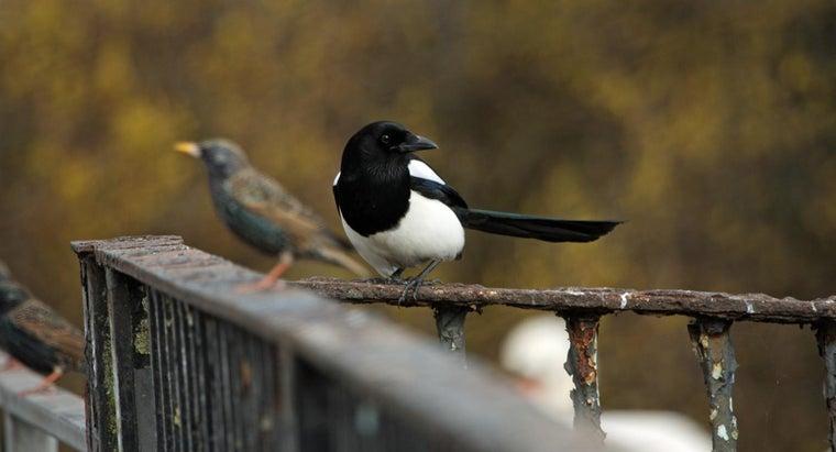rid-magpies