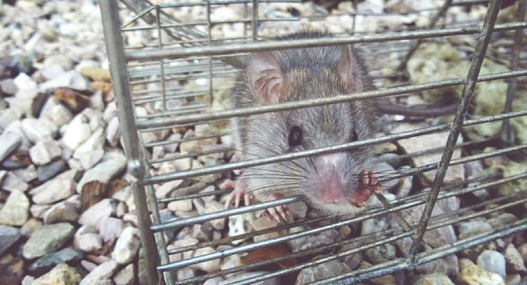 How Do I Get Rid of Rats and Mice Without Poison