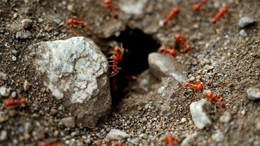 How Do I Get Rid of Red Ants in My Garden?