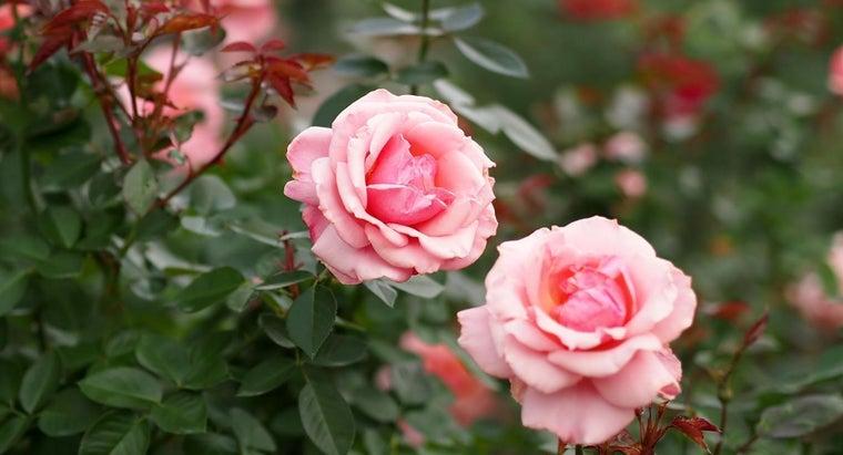 roses-reproduce