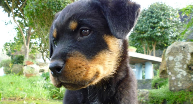 rottweiler-considered-fully-grown
