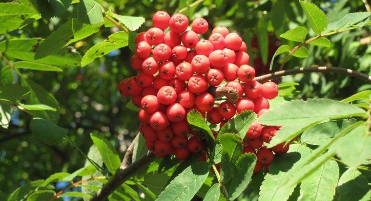 rowan-berries-poisonous-dogs