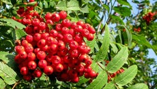 Are Rowan Tree Berries Poisonous?