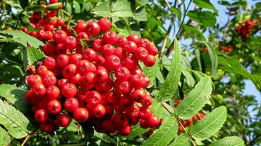 Are Rowan Tree Berries Poisonous?