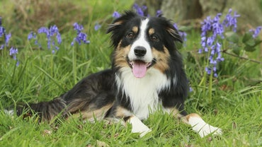 What's a Tricolor Border Collie?