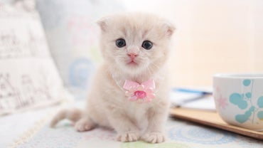 What's the Best Way to Buy Scottish Fold Kittens?