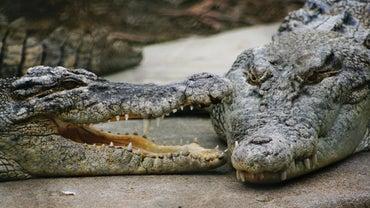 What Do Saltwater Crocodiles Eat?