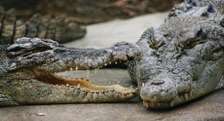 saltwater-crocodiles-eat