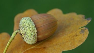 What Is the Scientific Name for an Acorn?