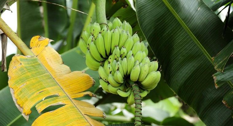 scientific-name-banana