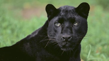What Is the Scientific Name for a Black Panther?