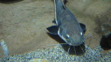 What Is the Scientific Name of Catfish?