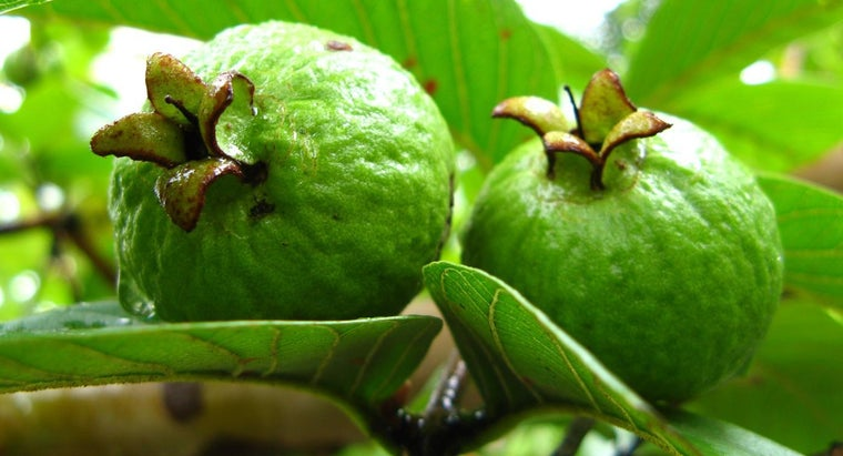 scientific-name-guava