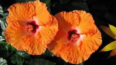 What Is the Scientific Name for Hibiscus?