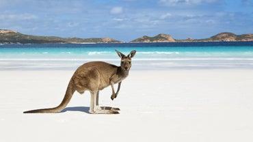 What Is the Scientific Name of Kangaroos?