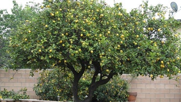 What Is the Scientific Name for Lemon?