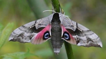 What Is the Scientific Name for a Moth?