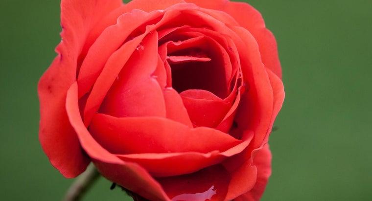 scientific-name-rose