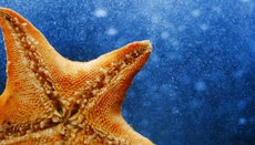 What Is a Scientific Name for a Starfish?