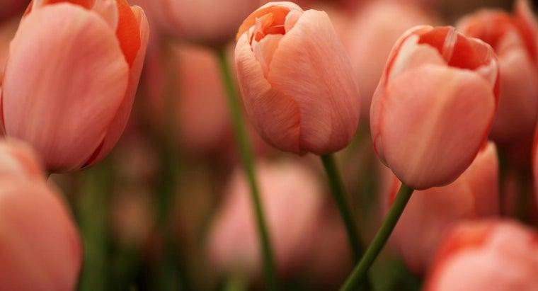 scientific-name-tulip