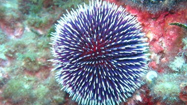 How Do Sea Urchins Move?
