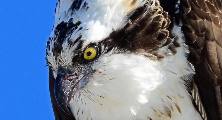 seahawk-real-bird