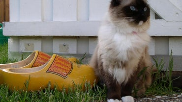 What Is a Seal Mitted Ragdoll?