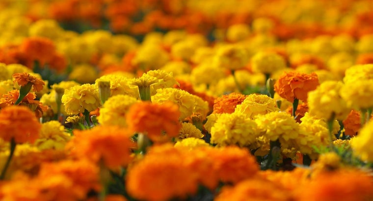 setting-marigolds-eugenia-collier