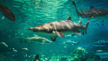 Do Sharks Eat Dolphins?