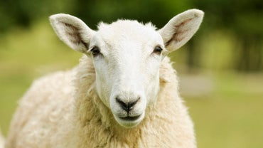How Does a Sheep Brain and a Human Brain Compare?
