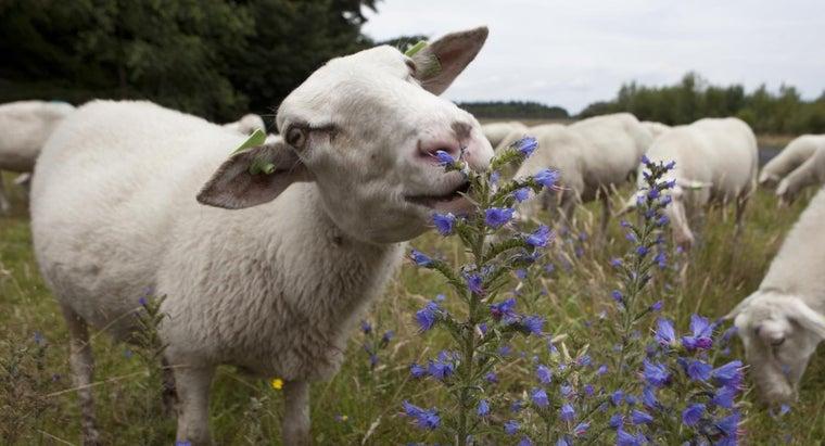 sheep-eat