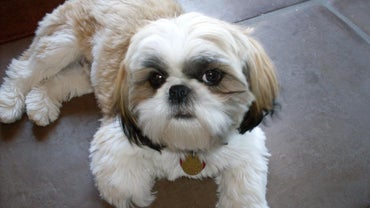 When Is a Shih Tzu Considered Fully Grown?