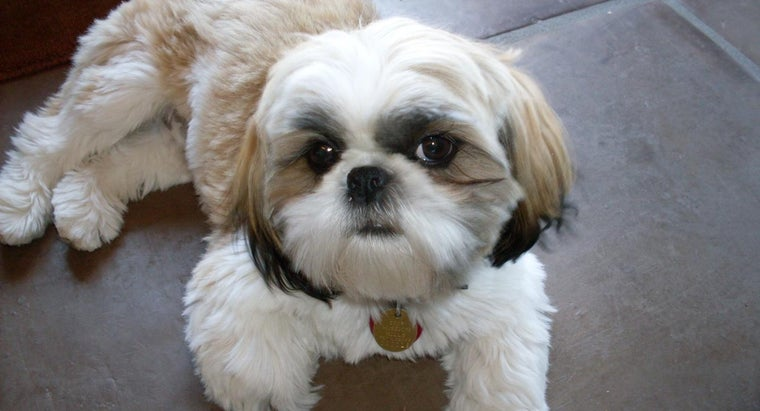 shih-tzu-considered-fully-grown